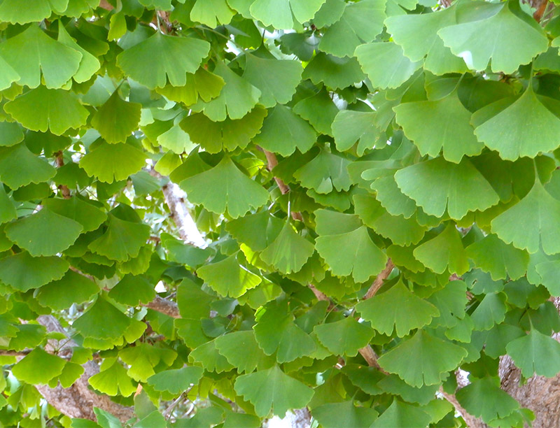 What Nutrients Are Contained In Dried Leaf Extract Of Ginkgo Biloba?