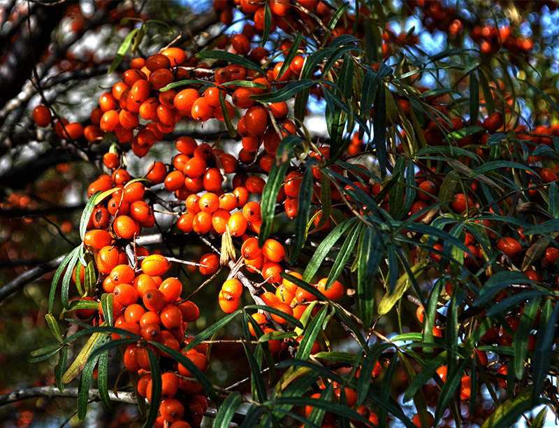 Sea-buckthorn Extract Can Control Digestive Diseases