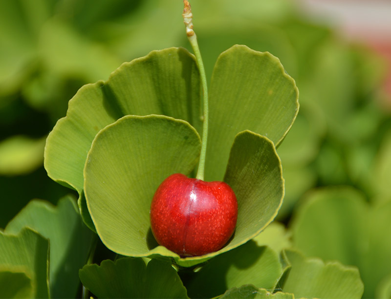Dried Leaf Extract Of Ginkgo Biloba Can Reduce The Damage Of Aluminum Salt To Cognitive Health